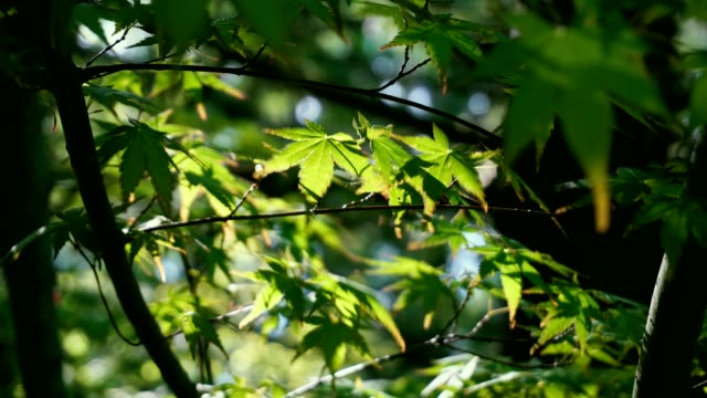 Leaves of summer forest with sun. Looking up. Green deciduous, maple trees video
