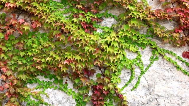 잎은 담쟁이덩굴 컬링 벽 흔들다 따라 바람 - 아이비 스톡 비디오 및 b-롤 화면