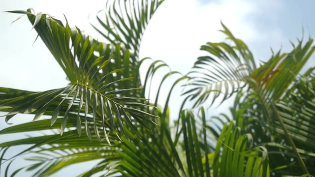 Leaves of the palm tree on the sky background. slow motion. 1920x1080 video