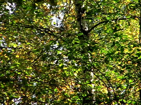 Leaves on a tree video