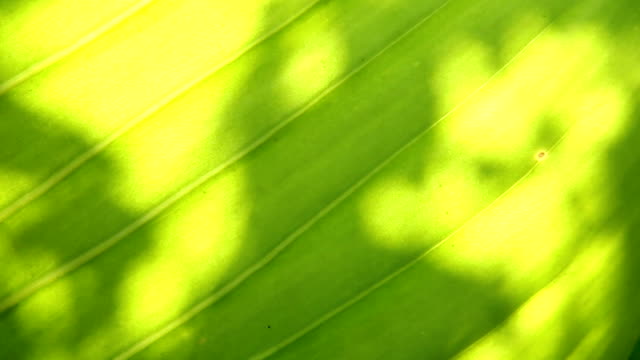 Leaves shadow on the leaf video