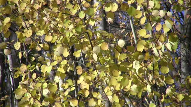 vídeos de stock, filmes e b-roll de folhas - condado de pitkin