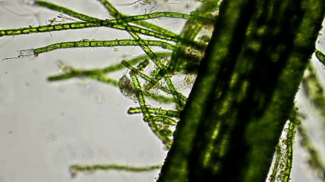 Lecane rotifer and algae, microscopic view Lecane rotifer and algae, microscopic view high scale magnification stock videos & royalty-free footage