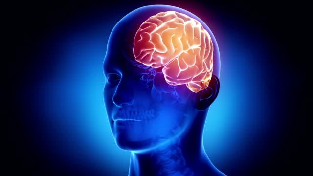 Left hemisphere in loop video