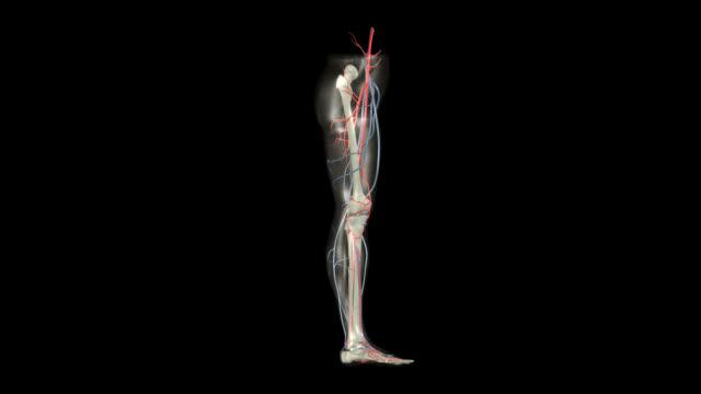 vídeos de stock e filmes b-roll de rotação da perna - veia