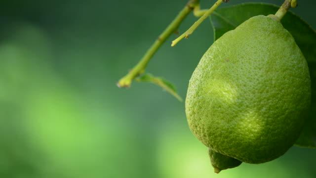 lemon fruit hanging from a branch of tree in close up - лимонный сок стоковые видео и кадры b-roll