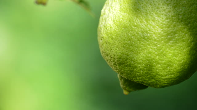 lemon hanging from a branch of tree in close up - лимонный сок стоковые видео и кадры b-roll
