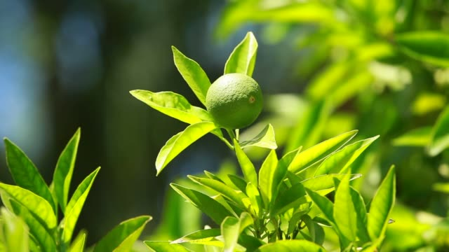 Lemon on a branch in a house garden and green background video