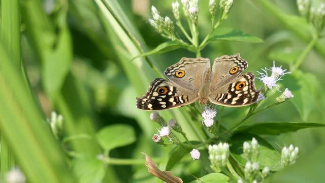 lemon pansy motyl szuka nektaru na gorzkikrót krzew lub kwiat chwastów siam - skrzydło zwierzęcia filmów i materiałów b-roll