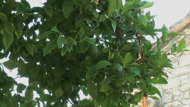 Lemon tree in garden video
