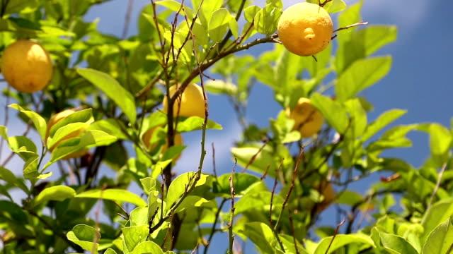лимонное дерево  - средиземноморская культура стоковые видео и кадры b-roll