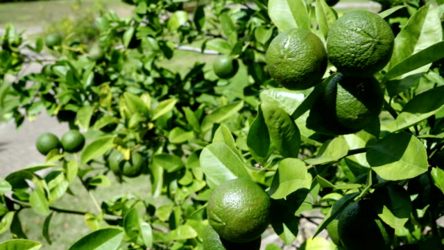 Lemon tree video