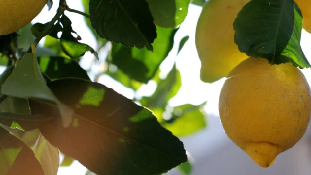 Lemons Growing On Tree Under The Sunny Rays Branches With Ripe Lemons citrus fruit videos stock videos & royalty-free footage