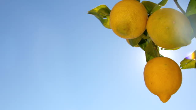 Lemons Growing On Tree Under The Sunny Rays video