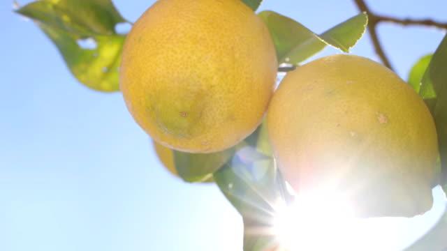 Lemons Growing On Tree video