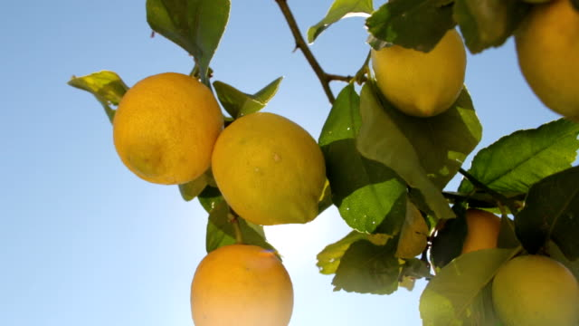 Lemons Hanging On Lemon Tree video