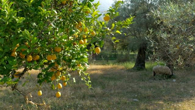 citroner på landsbygden orchard - fruktträdgård bildbanksvideor och videomaterial från bakom kulisserna