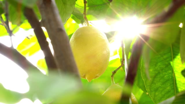 lemons on the branch against sun - лимон стоковые видео и кадры b-roll