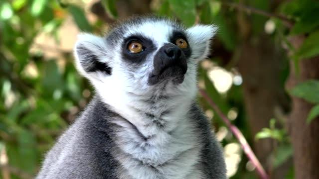 lemur ett djur tittar och stirrade - lemur bildbanksvideor och videomaterial från bakom kulisserna