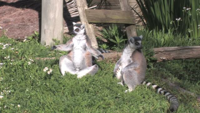 lemur be your friend - lemur bildbanksvideor och videomaterial från bakom kulisserna