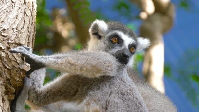 自然の生息地の lemur catta ビデオ