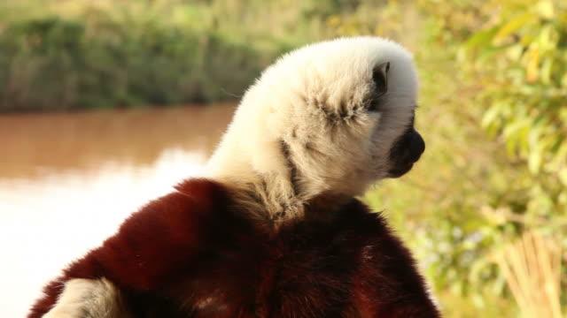 lemur close-up - lemur bildbanksvideor och videomaterial från bakom kulisserna
