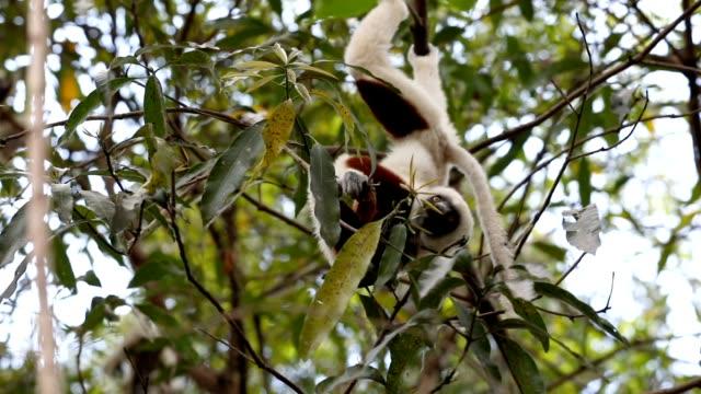 lemur coquerels sifaka.på (propithecus coquereli) - lemur bildbanksvideor och videomaterial från bakom kulisserna