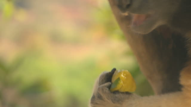 Lemur eating HQ 4:2:2 video