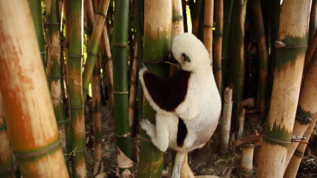 lemur on a bamboo tree - lemur bildbanksvideor och videomaterial från bakom kulisserna