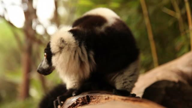 lemur on log - lemur bildbanksvideor och videomaterial från bakom kulisserna