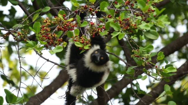 lemur på tree frukt - lemur bildbanksvideor och videomaterial från bakom kulisserna