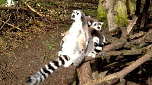lemur relaxing in the sun - lemur bildbanksvideor och videomaterial från bakom kulisserna