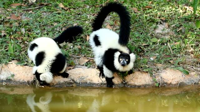 lemur - lemur bildbanksvideor och videomaterial från bakom kulisserna
