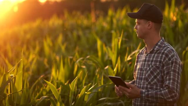 vidéos et rushes de lentille flare: un agriculteur mâle avec un ordinateur tablette dans un champ au coucher du soleil touche les feuilles de maïs et écrit des données au programme. - herbicide