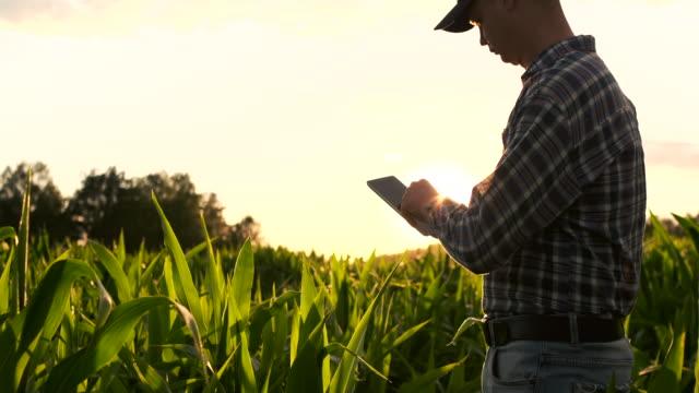 vidéos et rushes de fusée de lentille : un fermier moderne avec une tablette dans ses mains inspecte des pousses de maïs pour analyser la récolte future et la qualité du produit. gestion agricole via internet. - maïs culture