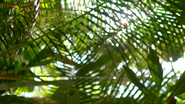 Lens flare behind tropical plants in 4k slow motion 60fps Lens flare behind tropical plants in 4k slow motion 60fps coconut palm tree stock videos & royalty-free footage