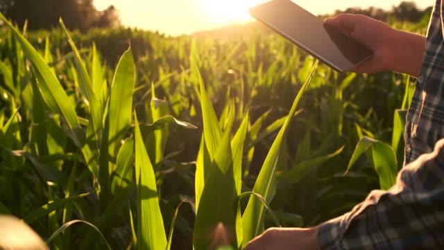 Linsenfackel: Landwirt mit einer Tablette, um die Ernte zu überwachen, ein Maisfeld bei Sonnenuntergang. Mann Bauer mit einem Tablet überwacht die Ernte, Maisfeld bei Sonnenuntergang, Zeitlupe Video. – Video