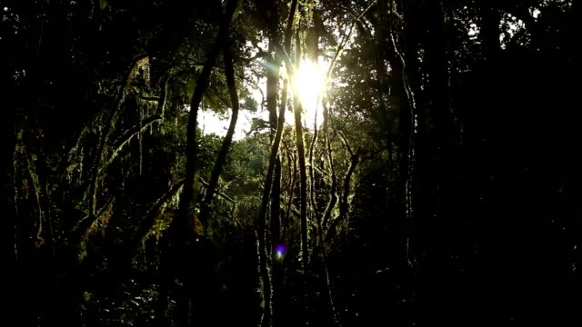 Lens flare in the forest, dolly shot. Cloud forest or fog forest , from Doi Inthanon national park, Chiangmai, Thailand. Dolly left to right. parasitic stock videos & royalty-free footage