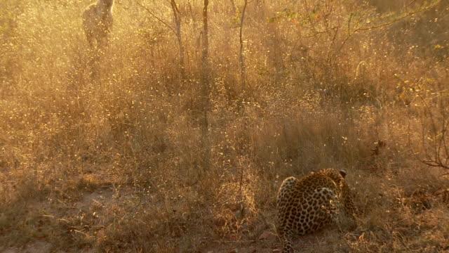 leopard and hyena - leopard bildbanksvideor och videomaterial från bakom kulisserna