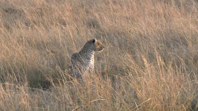 leopard närmar sig och sitter på masai mara kenya - leopard bildbanksvideor och videomaterial från bakom kulisserna