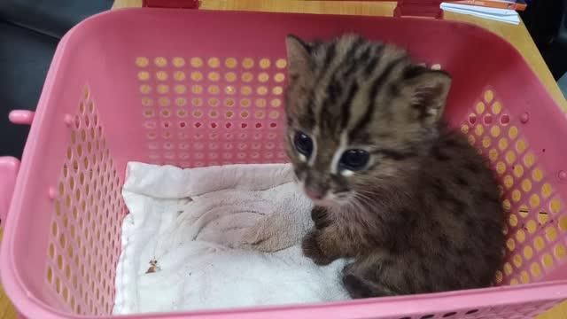 leopard katt i korg - kattdjur bildbanksvideor och videomaterial från bakom kulisserna
