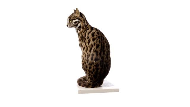 Leopard Cat (Felis bengalensis) video
