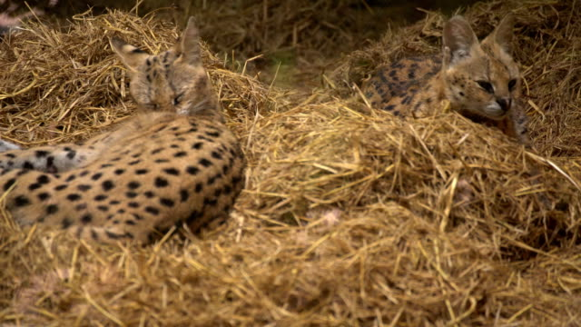 Leopard cat video