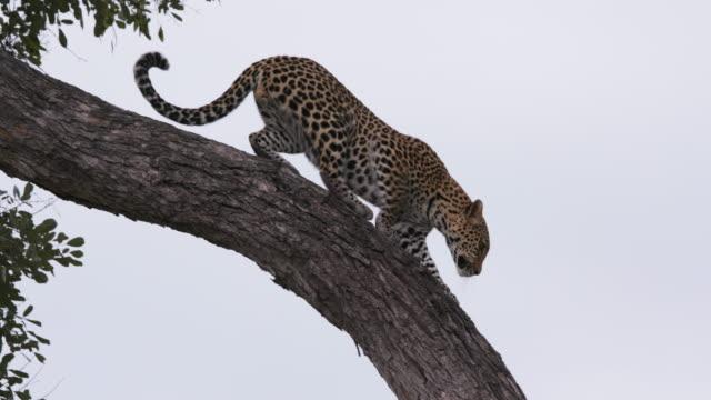 leopard klättra nerför brach ett träd i okavangodeltat - leopard bildbanksvideor och videomaterial från bakom kulisserna
