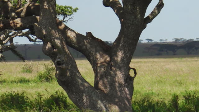 leopard cub on a tree of serengeti - hunting stock videos and b-roll footage