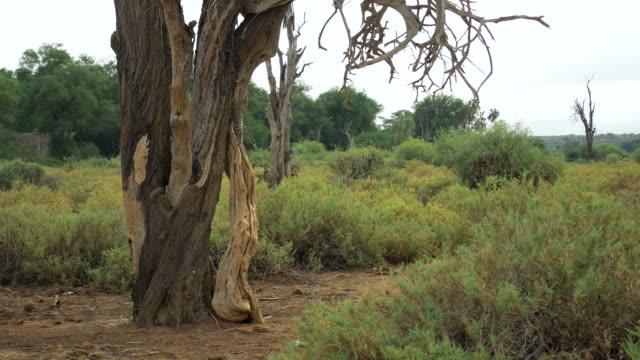 leopard cup klättra träd i samburu national park i kenya - leopard bildbanksvideor och videomaterial från bakom kulisserna