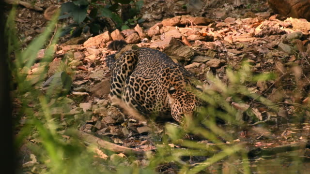 leopard dricksvatten i sin naturliga livsmiljö - leopard bildbanksvideor och videomaterial från bakom kulisserna