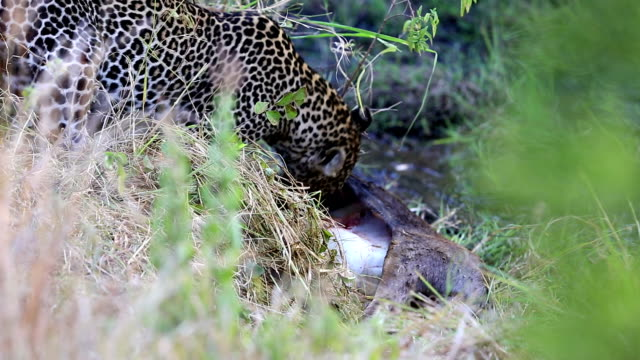 Leopard eating at secret place - camouflage video