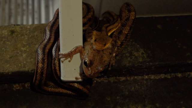Leopard Frog Makes Eye Contact While Being Eaten by a Rat Snake