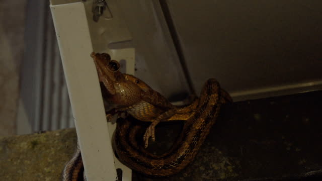 Leopard Frog Struggles in the Mouth of a Rat Snake